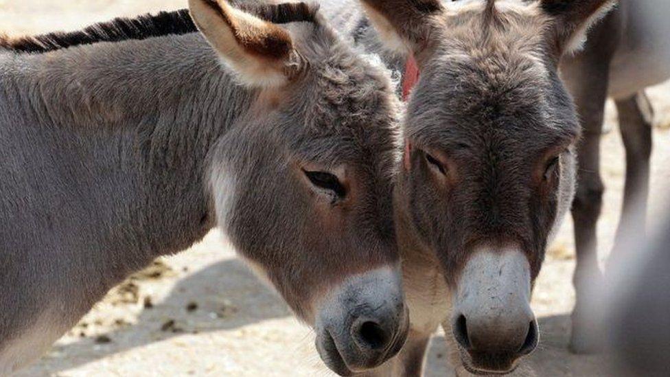 A pair of donkeys