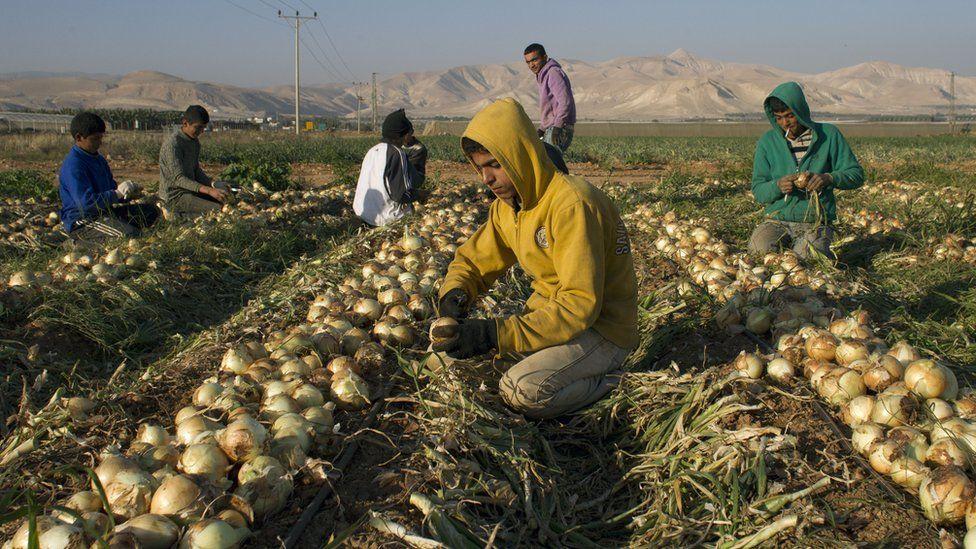 Palestinian farmers work in an onions field in the Jordan Valley on January 8, 2014.