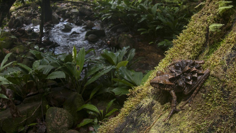 A photo of a Groete Creek Carrying Frog