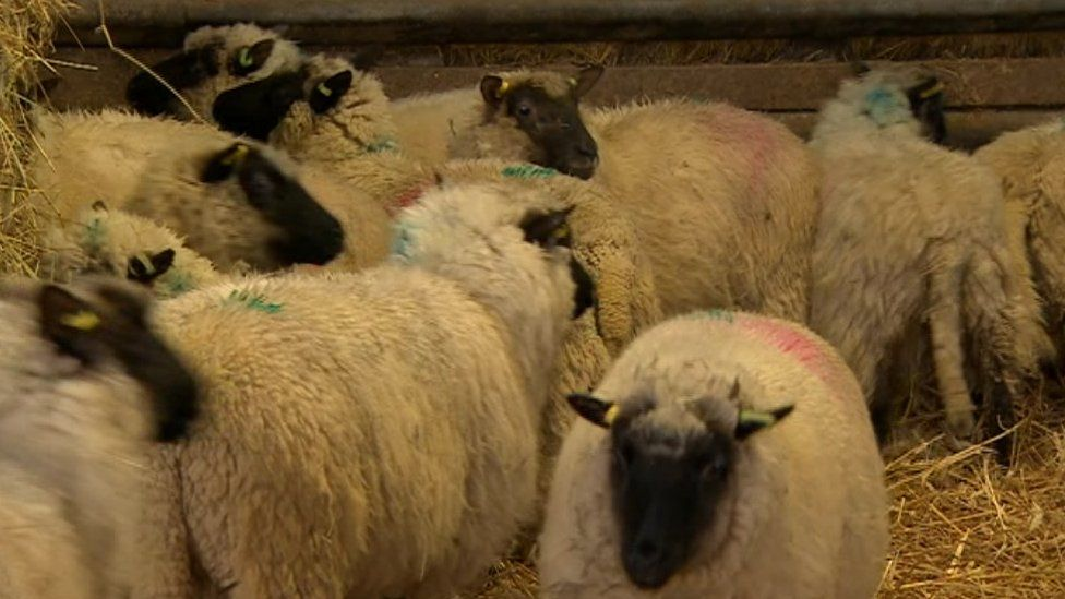 Lambs at the sanctuary