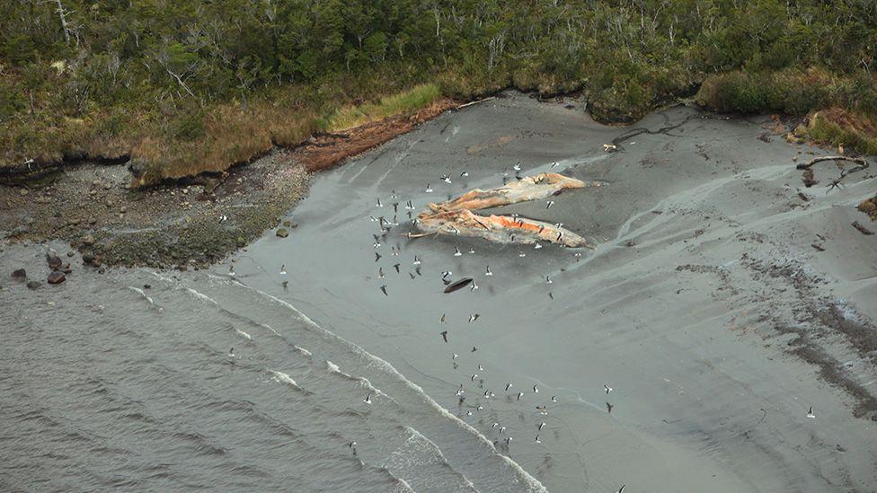 Dead sei whales