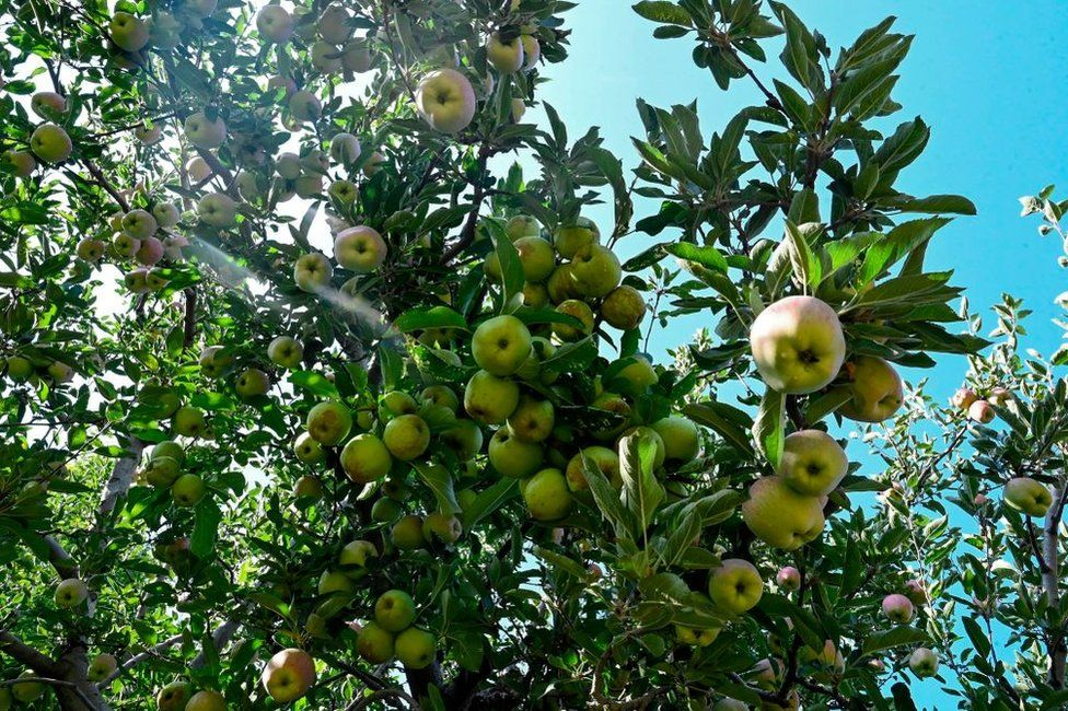 Apples are ready to be harvested in an orchard in Shopian district of southern Kashmir valley.
