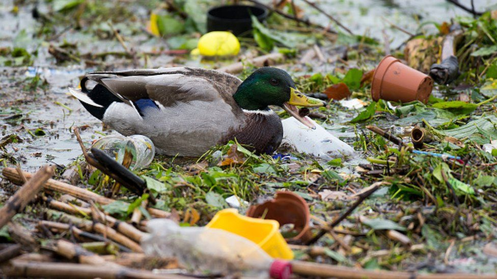 Mallard duck swims amongst plastic waste