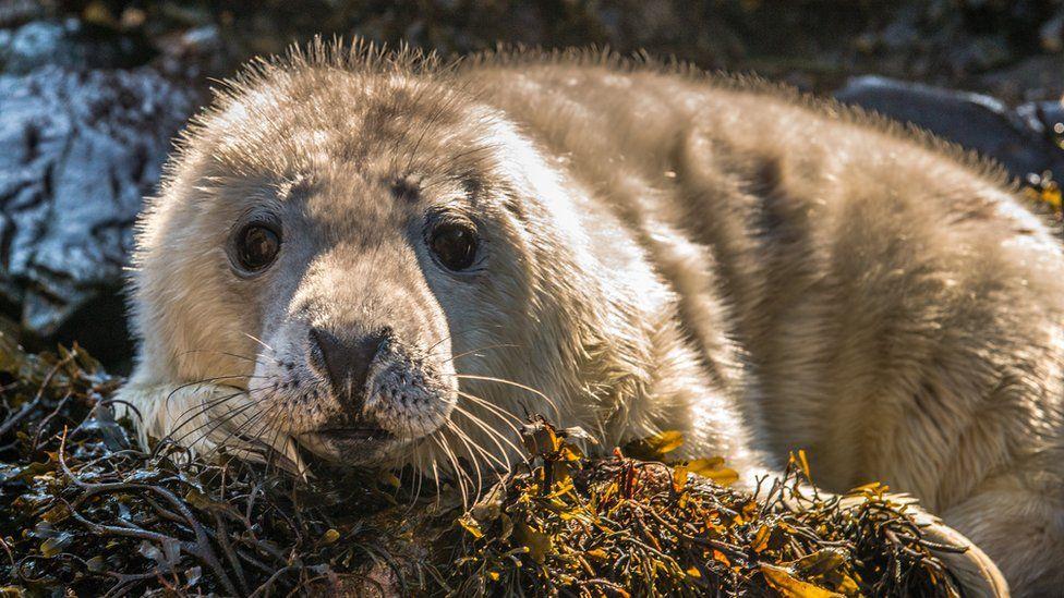 A seal pup on Skomer Island
