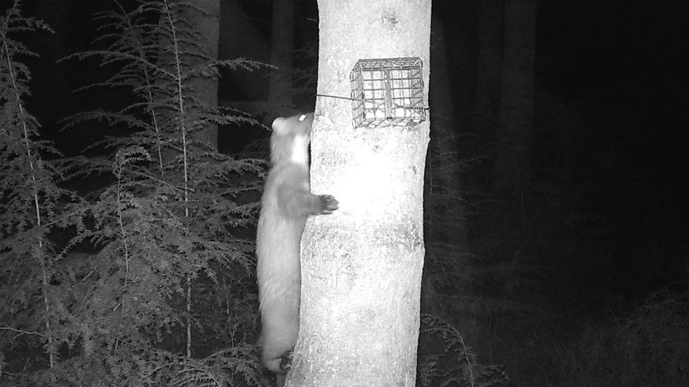 Pine marten number three on a tree in the Clocaenog Forest