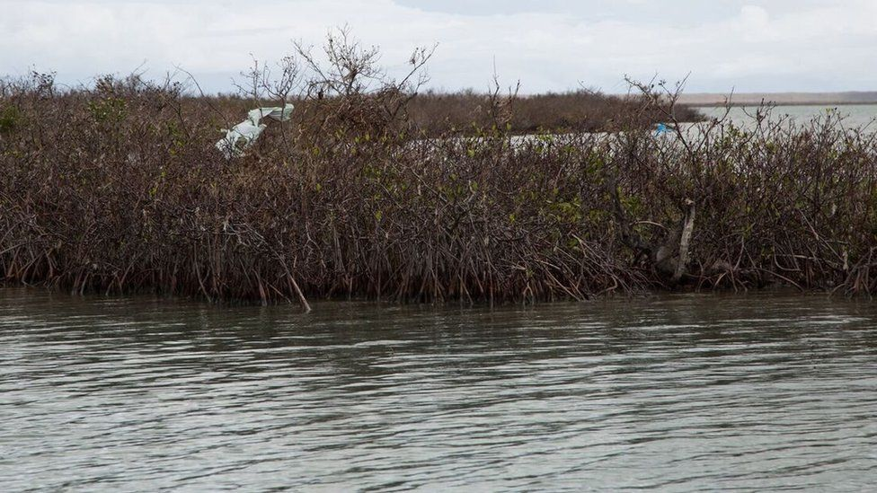 A picture taken after the hurricane shows the damage the mangroves suffered