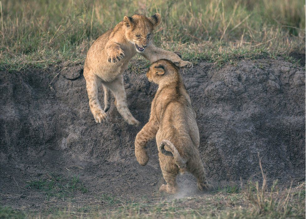 Two lion cubs play fight
