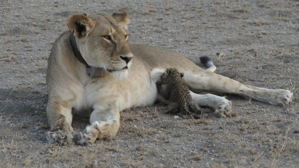 """A leopard cub is seen suckling on a lioness in the Ngorongoro Conservation Area, Tanzania, in this handout picture released on 14 July. The lioness, known locally as """"Nosikitok"""", is well known to scientists as she is radio-collared and monitored by KopeLion, a Tanzanian conservation NGO supported by Panthera. Picture taken July 11, 2017. Joop Van Der Linde/Panthera/Handout via REUTERS ATTENTION EDITORS - THIS IMAGE HAS BEEN SUPPLIED BY A THIRD PARTY. NO RESALES. NO ARCHIVES. MANDATORY CREDIT. TPX IMAGES OF THE DAY"""