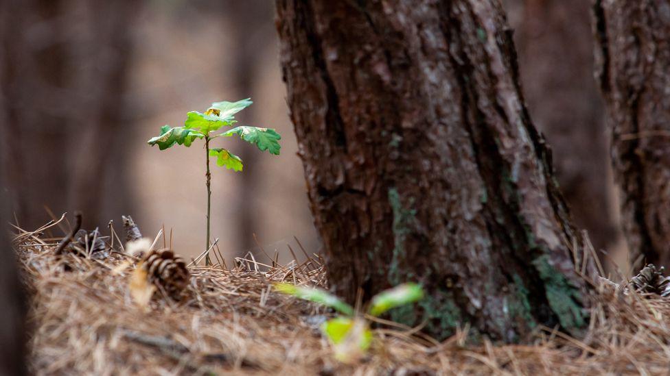 Tree and sapling