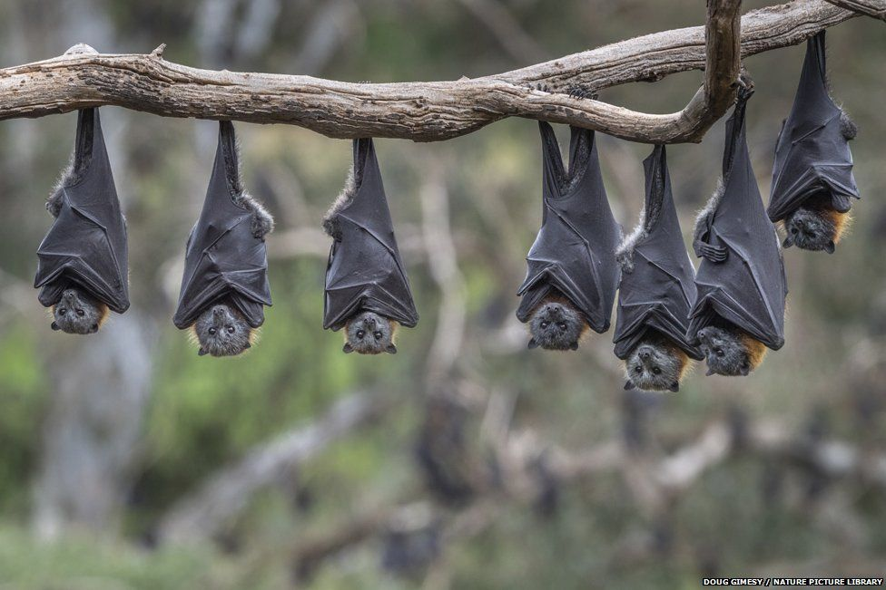 Grey-headed flying foxes (Pteropus poliocephalus) hanging from a branch. Yarra Bend Park, Kew, Victoria, Australia.