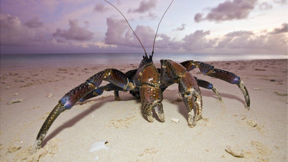 The coconut crab (Birgus latro) is a type of land hermit crab