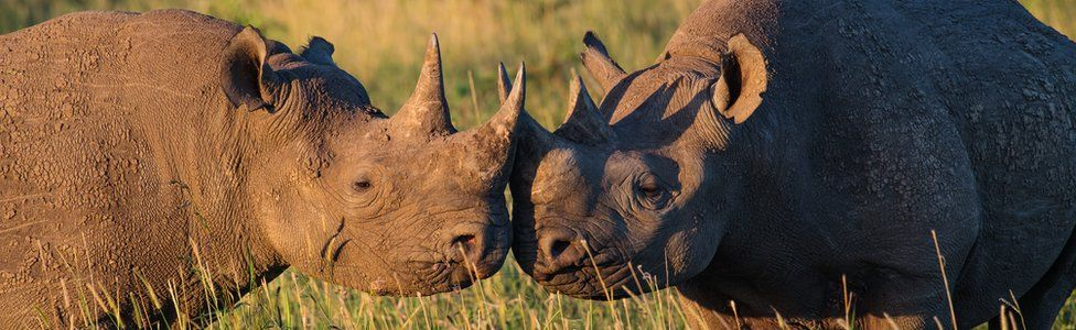 South Africa rhino poaching: 'Bribes paid to court syndicate' - BBC News