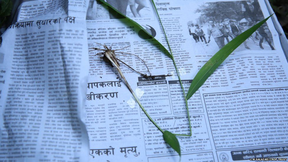 Researchers are collecting wild relatives of crops in Nepal