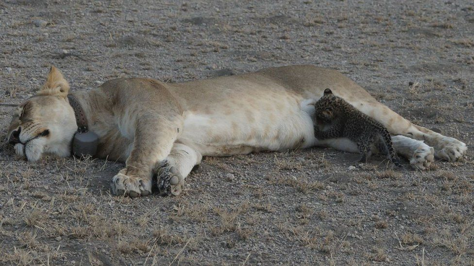 The lioness lies down with her eyes closed as the leopard cub feeds
