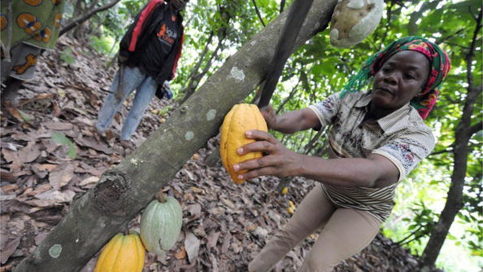 A woman farmer picks cocoa pods on October 18, 2008 in a field near the village of Boko, some 200km north of Abidjan, where a group of women have created in 2005 an association of coffee-cocoa producers.