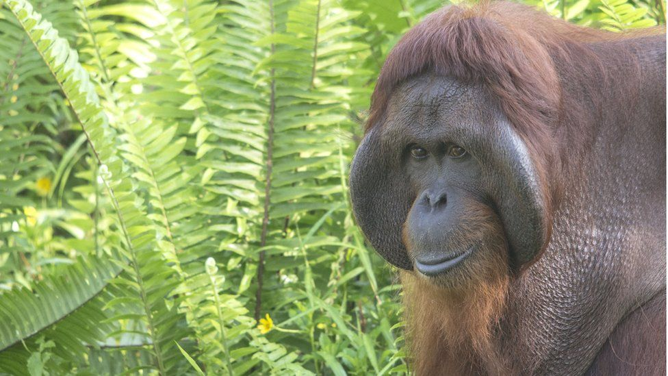 The park's orangutan population could be as large as 1,000-2,000