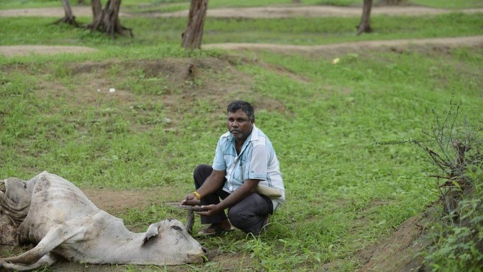 Indian Dalit, Sombhai Chamar, 50, puts down his tools for skinning cattle while sitting beside a dead cow on the outskirts of Bhuvaldi village of Ahmedabad district on July 29, 2016.