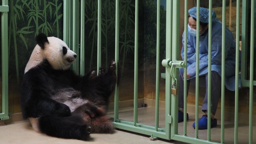 Huan Huan giant panda with the vet during her labour