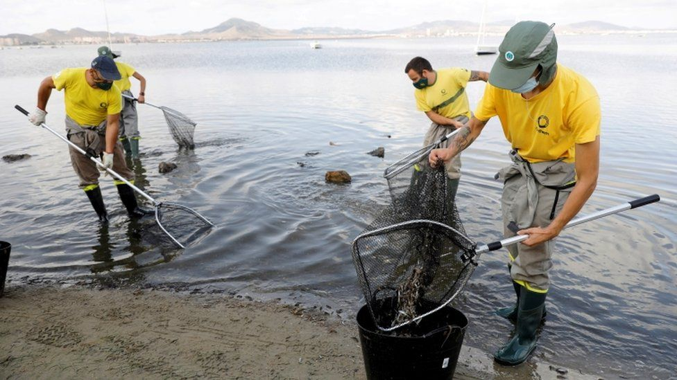 Municipal workers try to clean the beach of dead fish which continue to appear on the shores of Mar Menor