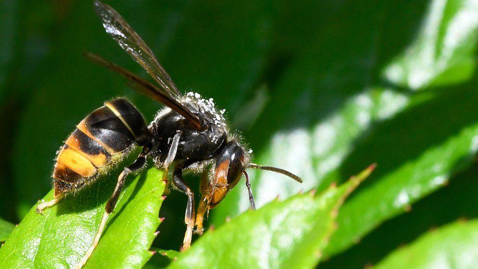 Asian hornet on leaf