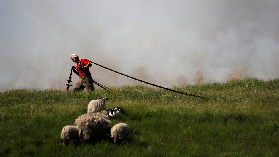 A fire fighter carries a water hose past sheep close to scorched moorland as it burns during a moorland fire at Winter Hill, near Rivington. 1 July 2018
