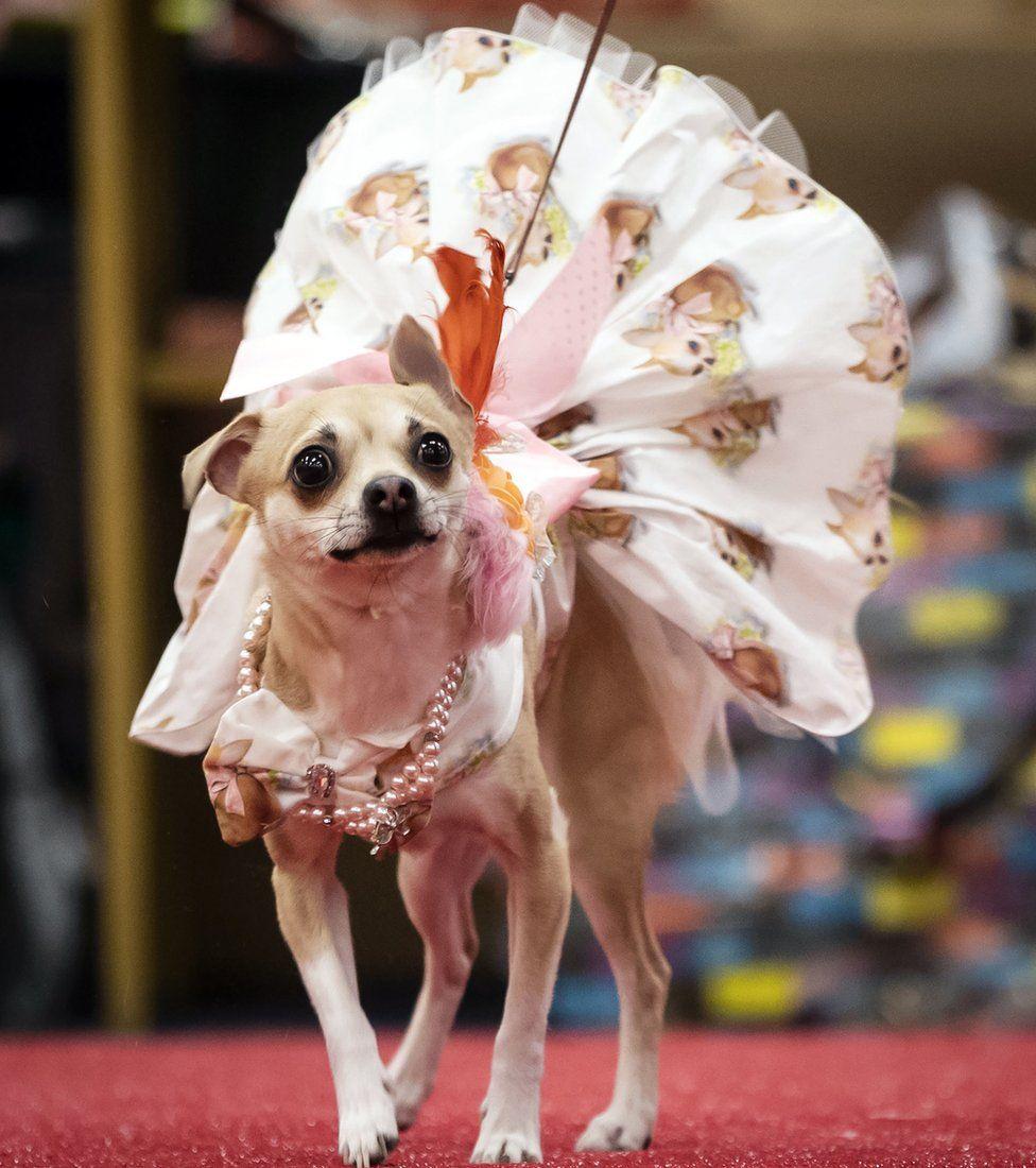 Dog in a dress