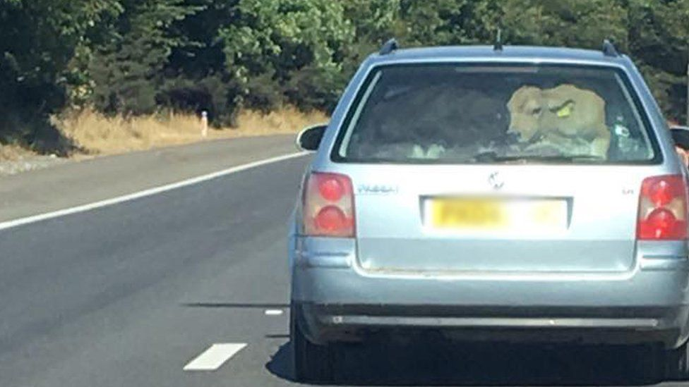 A VW Passat estate car on the motorway - a cow can be seen in the boot in the rear window