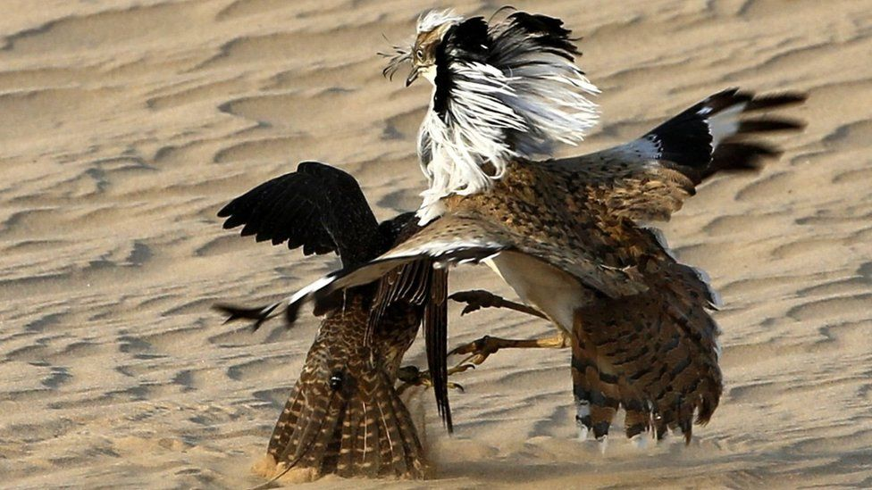 A hunting falcon preys on a houbara bustard at Al-Marzoom Hunting reserve, 150kms west of Abu Dhabi in the United Arab Emirates on February 2, 2016