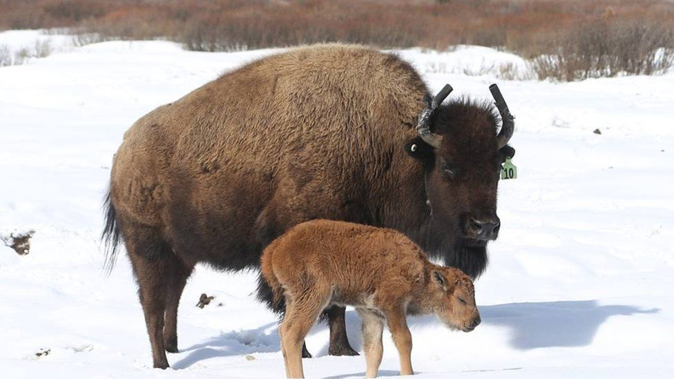 The first bison calf born in 140 years in the Banff National Park