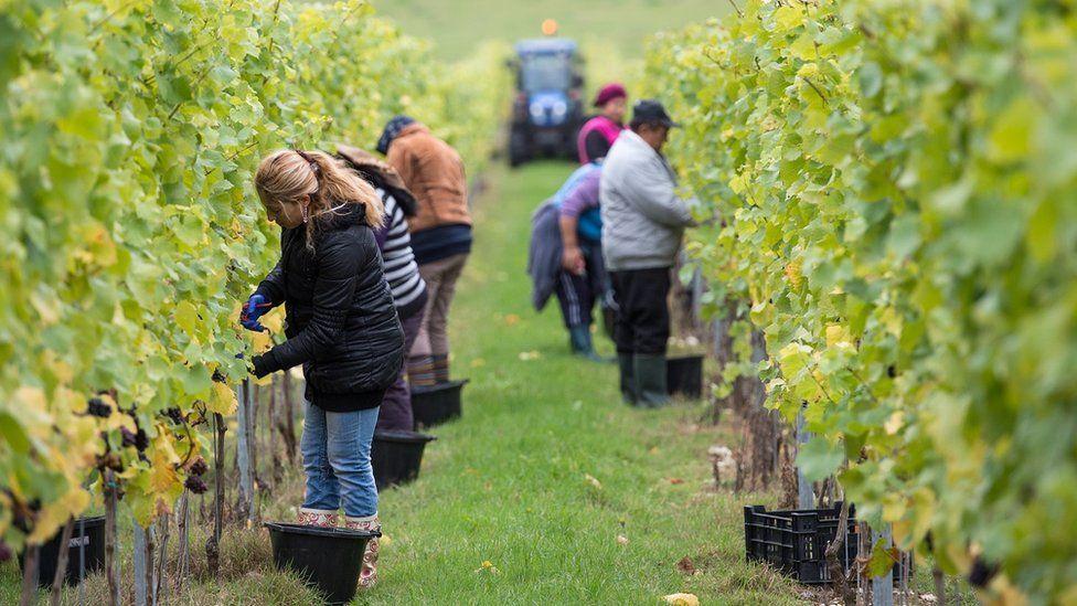 Migrant workers in a UK vineyard