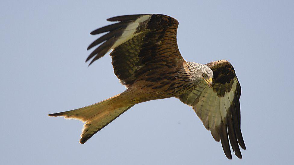 Red kite flying over Tetsworth