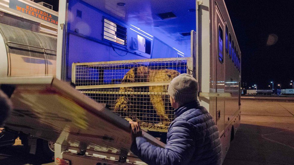 One of the tigers pictured in the truck at the border