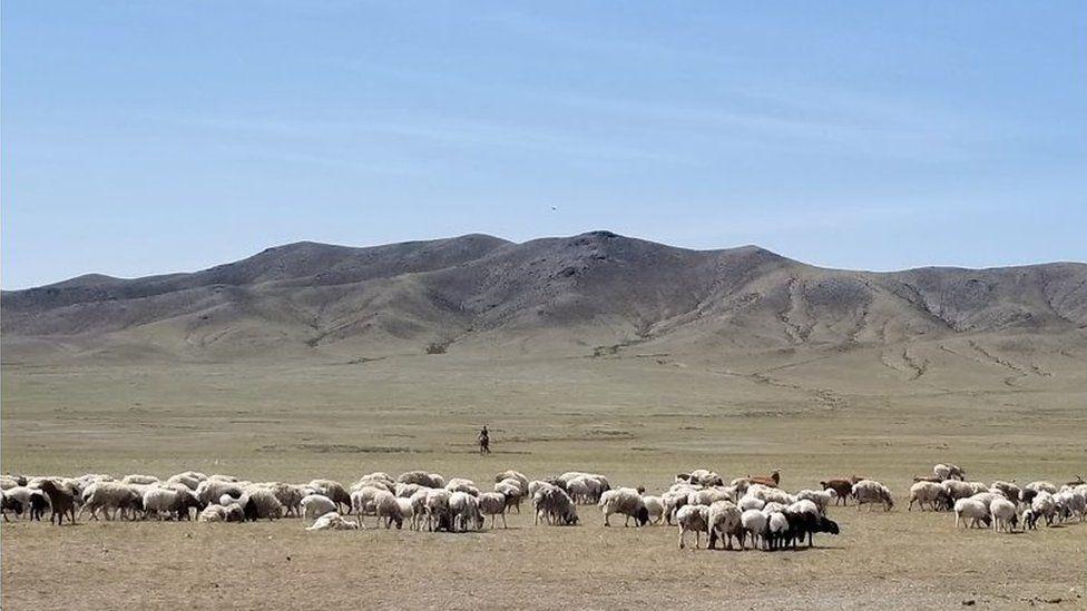 Cashmere goat herding