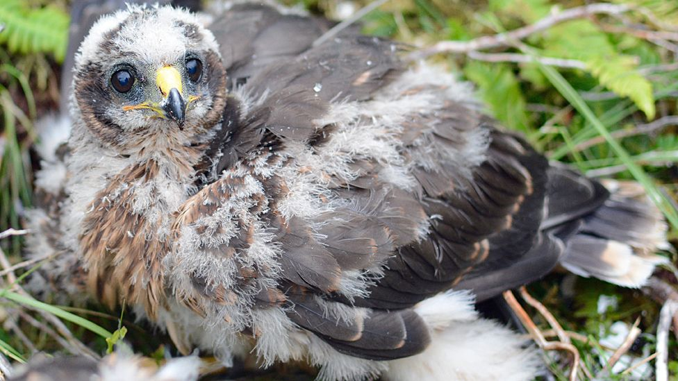 Appeal over hen harrier death and disappearances
