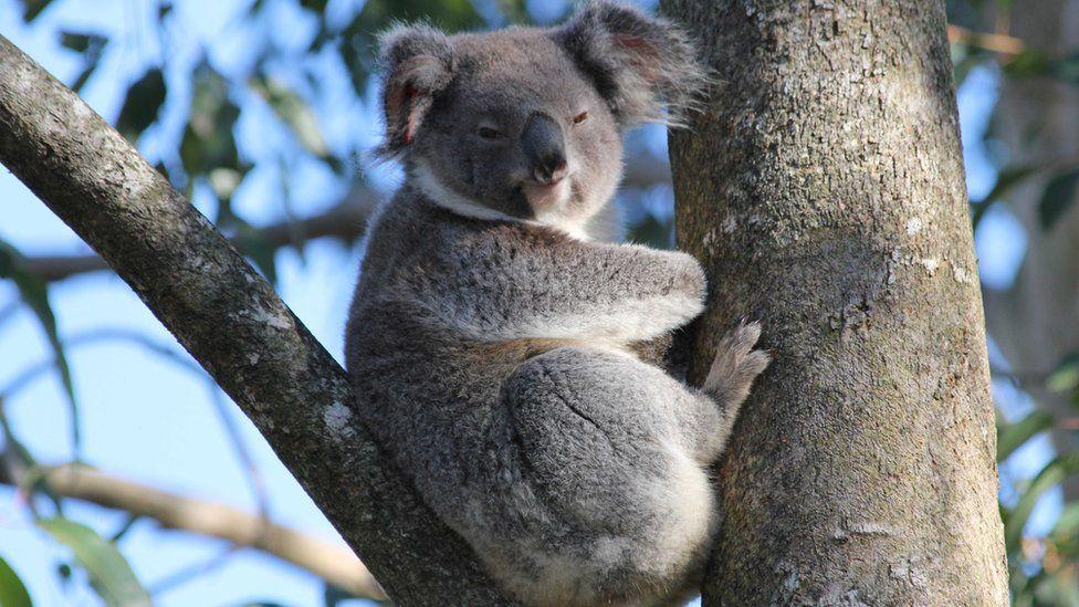 A koala relaxes in a tree