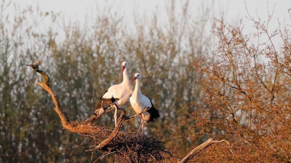 A pair of storks on nest three