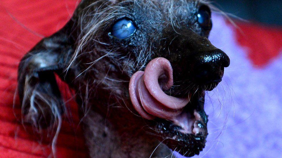 Chinese-crested mix dog Chase close-up