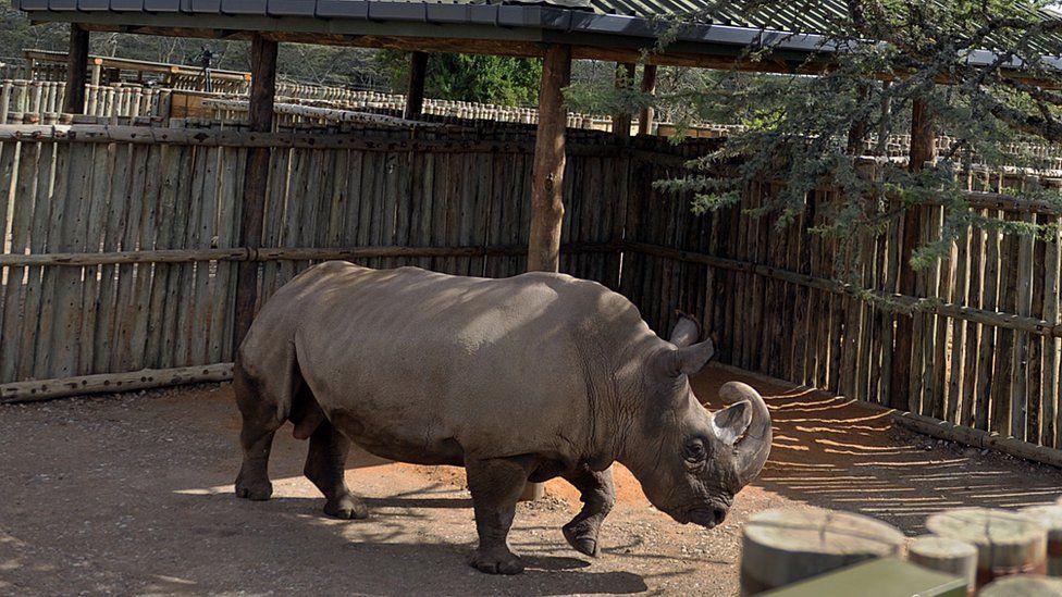 A male northern white rhino