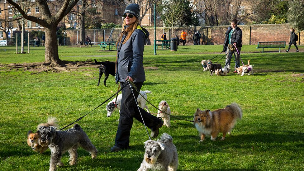 A dog walker with many dogs