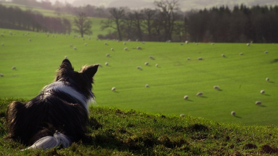 stock image of sheepdog