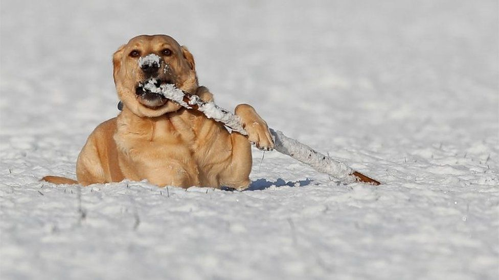 Luke, a five-year-old Labrador, plays in the snow. Pic 30 Jan