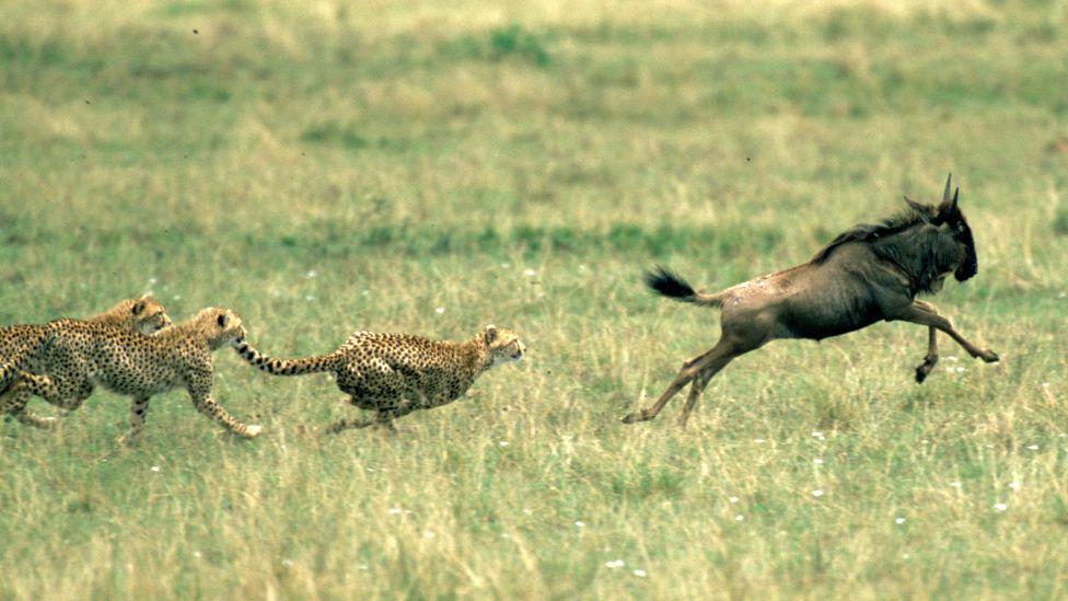 Cheetahs chasing a wildebeest in the Maasai Mara in Kenya