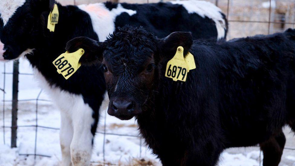 Cow at tri-fecta farm