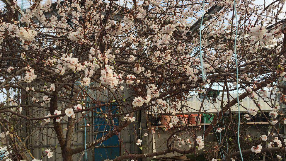 Cherry trees in monastery greenhouse