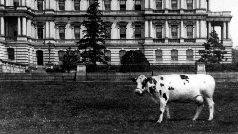 President Taft's cow, Pauline Wayne, on the lawn on of the State, War, and Navy Building, circa 1909