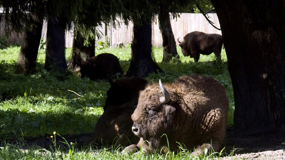 European bison in Bialowieza Forest, 2010 file pic