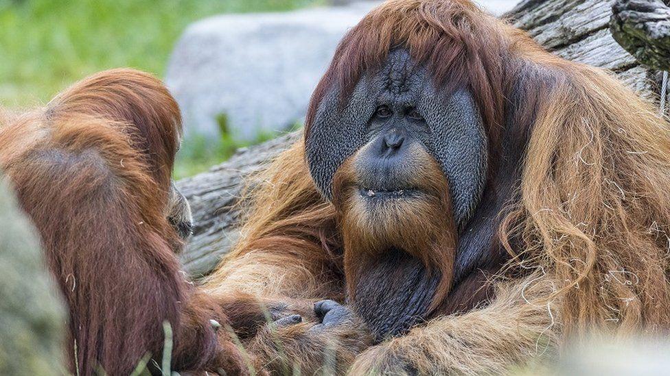 An orangutan at San Diego Zoo