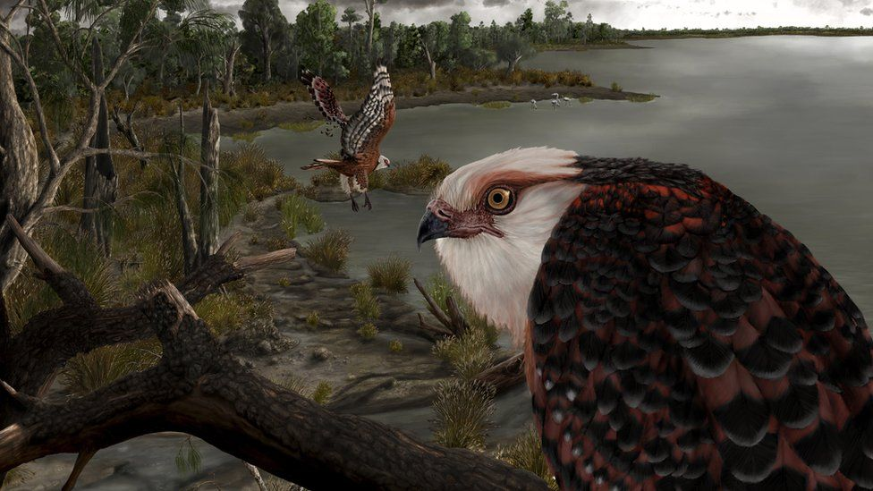 Australian researchers uncover fossil of new eagle species thumbnail