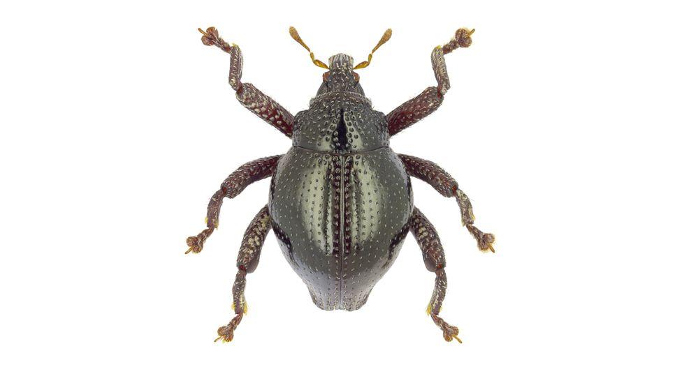 Trigonopterus yoda