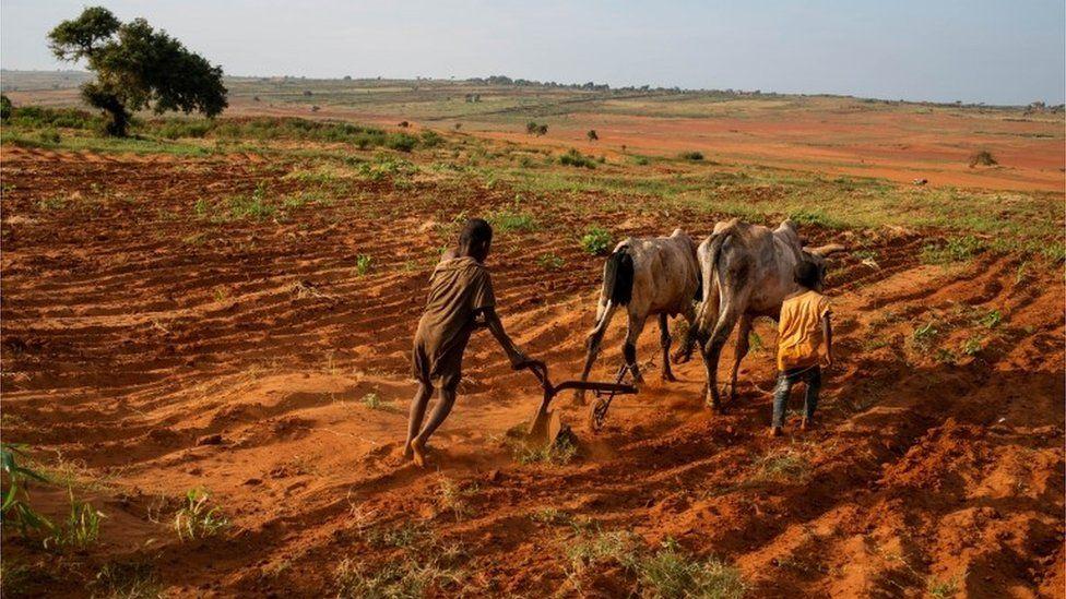 Τα παιδιά προσπαθούν να οργώσουν μια φυτεία χρησιμοποιώντας βοοειδή στο Grand Sud of Betsimeda, Maroalomainty commune, Ambovombe District, Μαδαγασκάρη 2 Μαΐου 2021